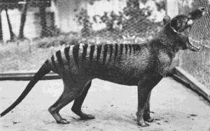 1933Last Known Tasmanian Tiger